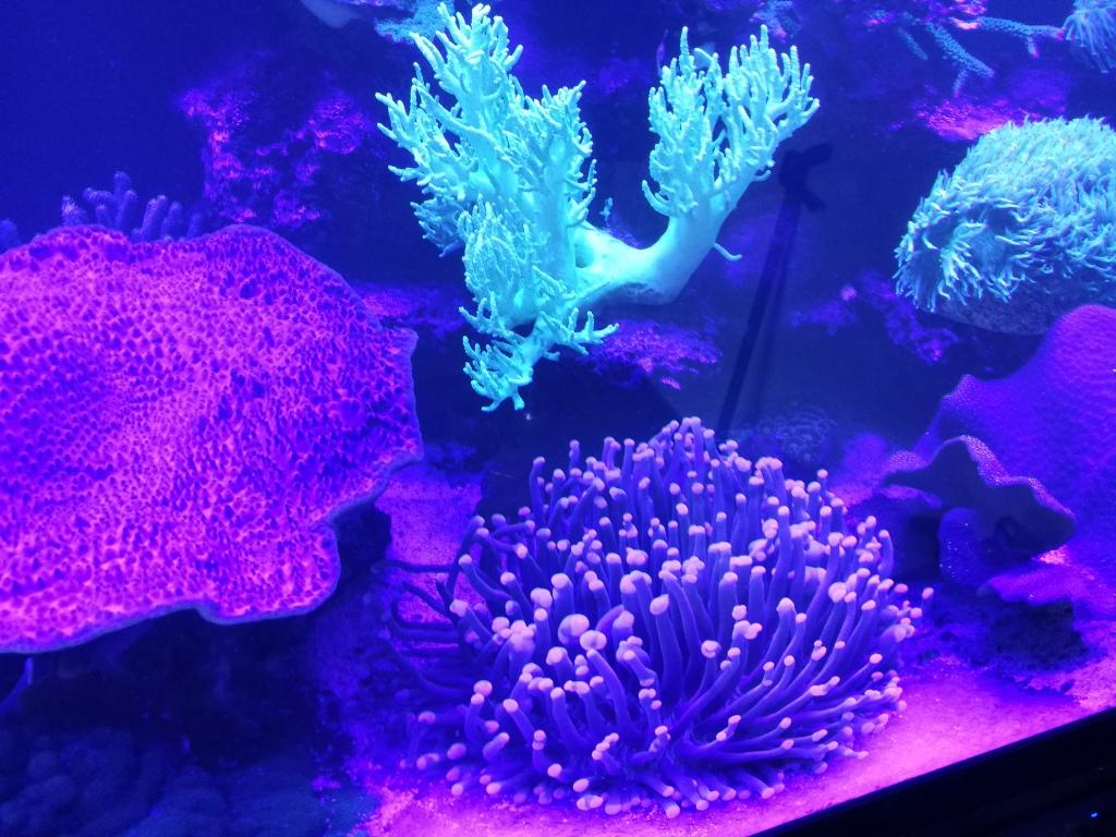 Heliofungia violett